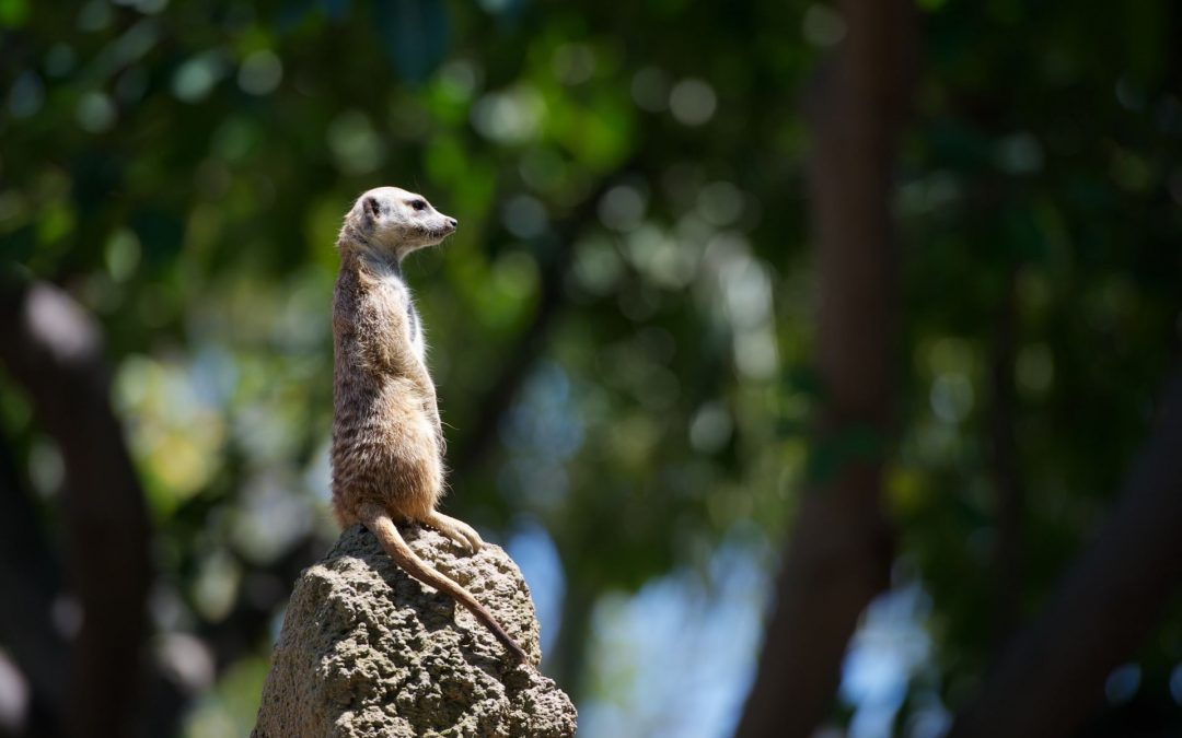 Meerkats: As sentinels, we are not as good, but we should be!